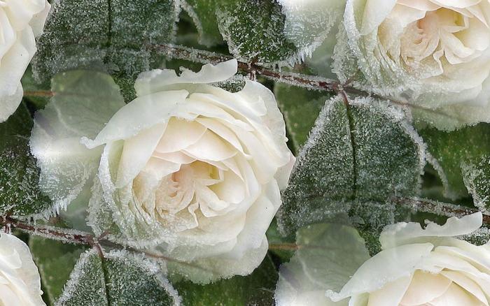поклеить кухне фото белой розы на снегу даже охотились