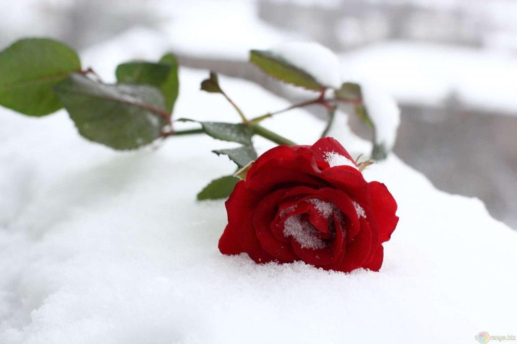 Открытка снег на розах, днем рождения собаки