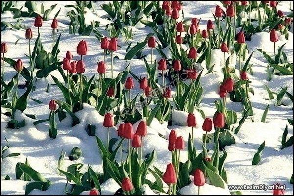 Открытка тюльпаны на снегу