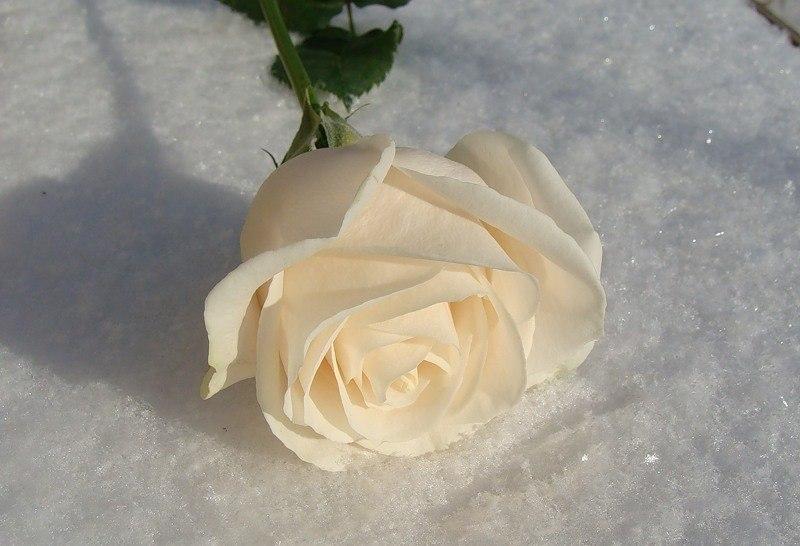 этого, фото белой розы на снегу день городе