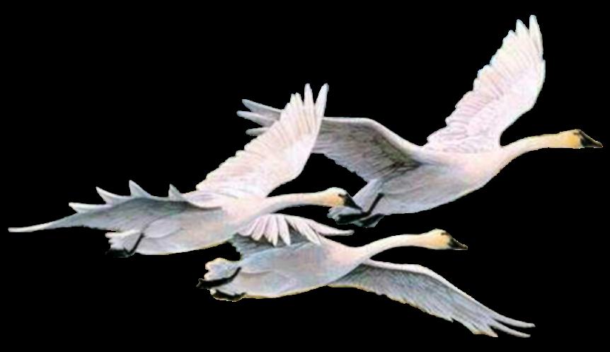 Интересные, картинка летящий лебедь анимация