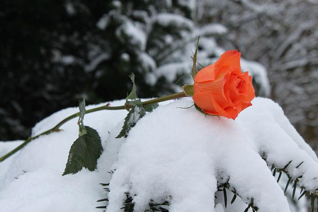 Картинки роза на снегу анимация