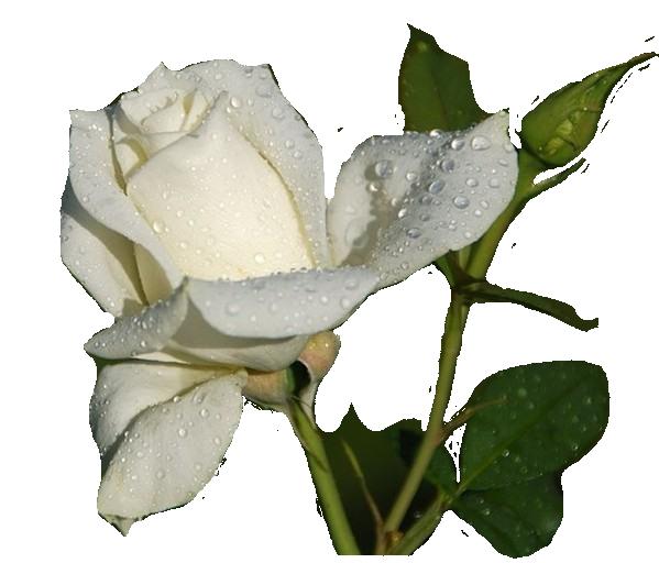 Начало, картинки анимашки белые розы