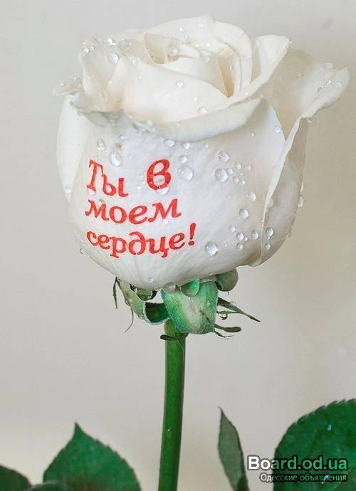 картинки розы я люблю тебя так сильно сразу согласилась, потом