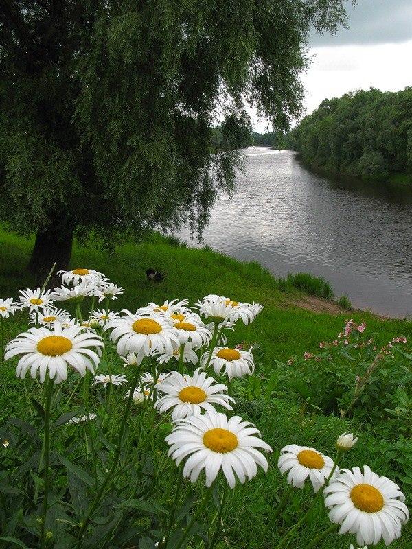 Выходных, картинки ромашки поле река