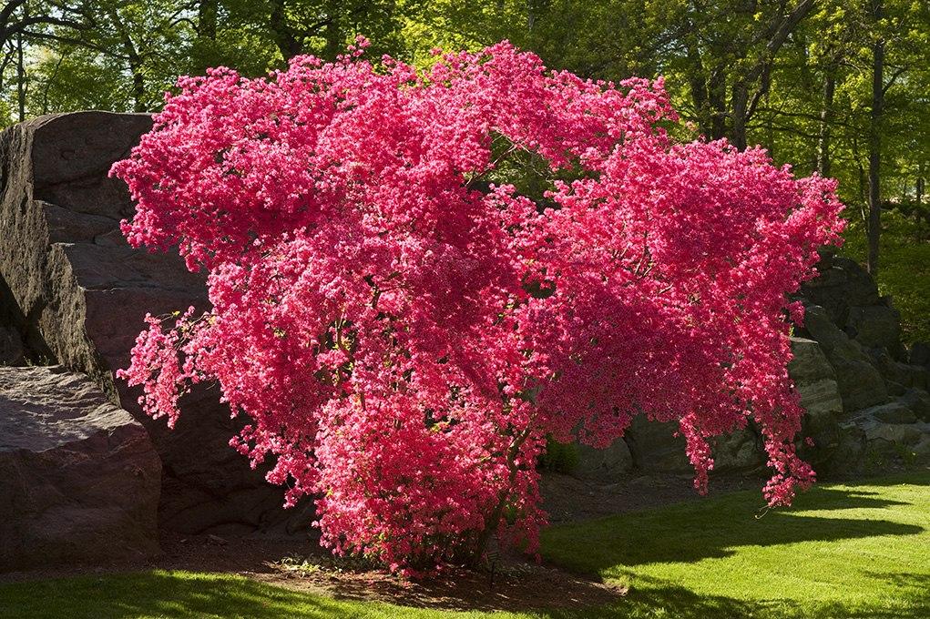 успели приобрести декоративные розовые деревья названия и фото рекламы надоедливых приложений