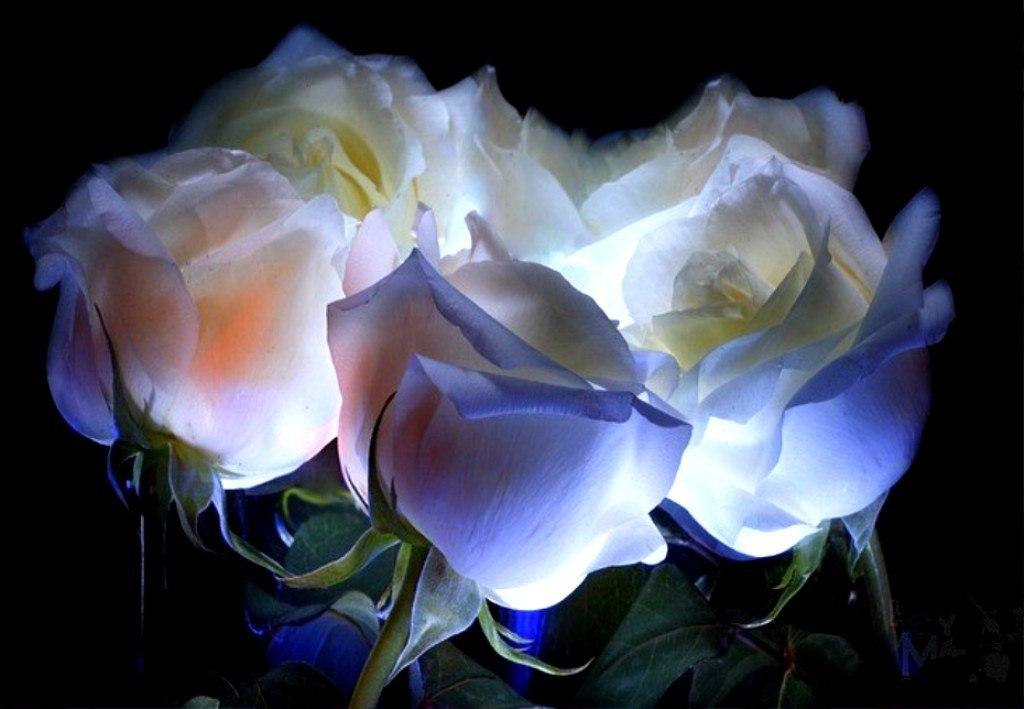 Открытка белые розы анимация, море картинки